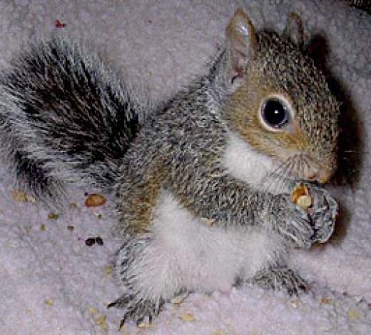 6-7 weeks old squirrel