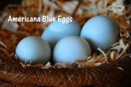 Americana Easter Egger