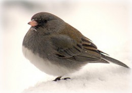 Dark Eyed Junco standing on one foot, and warming the other under his chest feathers.