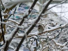 Tree Sparrow in snowstorm.