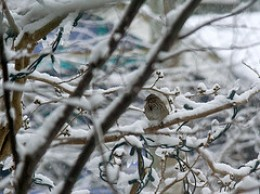 Tree Sparrow in snowstorm.