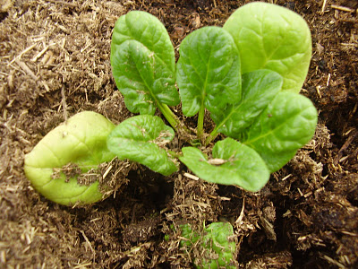 Spinach is easy to grow and delicious when it is  fresh.
