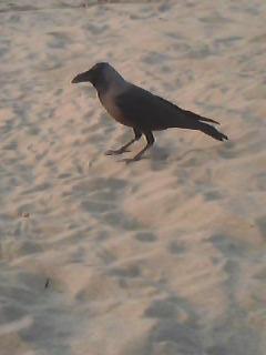 Caw- Caw Crow