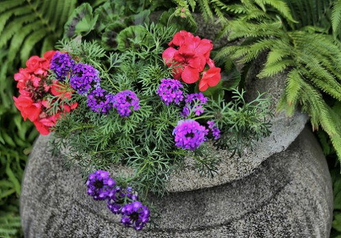 Purple Verbena, Pink Geranium and Fern combination planter.