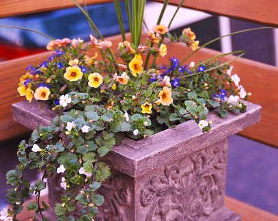 Dracaena Spike, Terra Cotta Mini Calibrachoa Petunia, Blue Lobelia and White Bacopa combination planter.