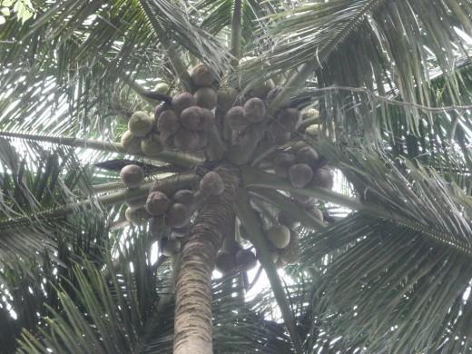 Swaying coconut tree