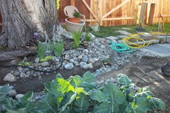 Grow Great Broccoli in Your Back Yard Garden