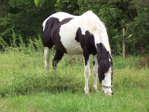 An American paint horse