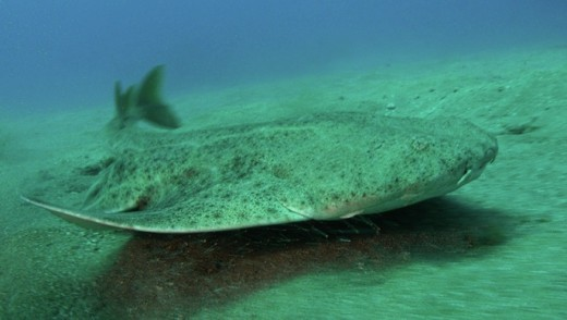 An angel shark
