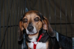 Millie. So scared and so gentle. A discarded hunting dog and breeding machine. She found a great home.