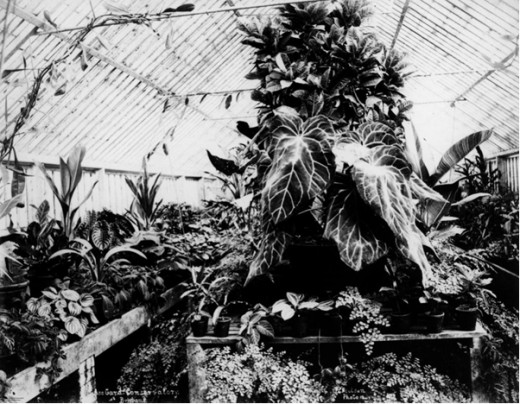 Tropical Glasshouse Circa 1890.