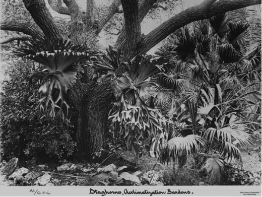 Staghorn Ferns Circa 1897.