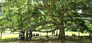 Ehutu Tree