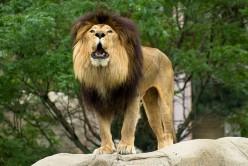 The Lion - King of the Jungle - A Lion's Roar
