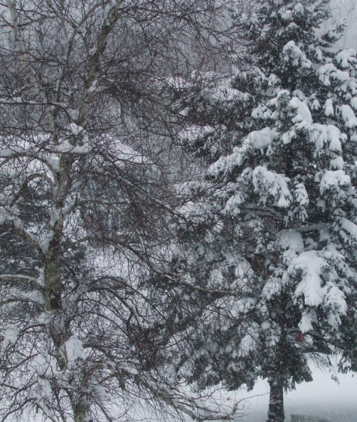 We experience four seasons of nature. Here are snow-covered fir trees.