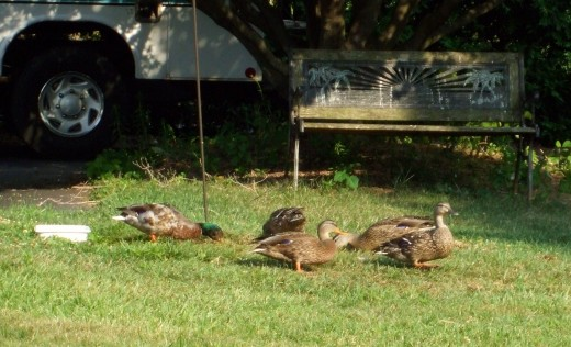 Annual visitors - the Mallards!