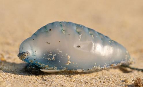 Man of War Jellyfish (aka Blue Bottle Jellyfish)