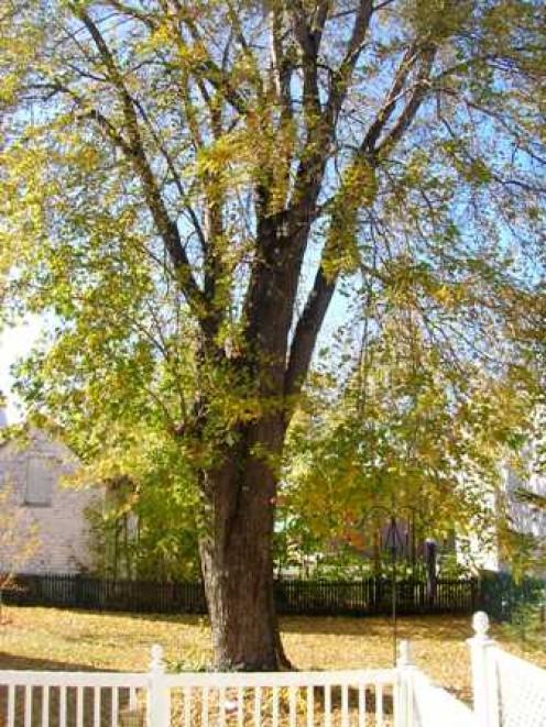 Big Old Tree: BOB Ewing photo