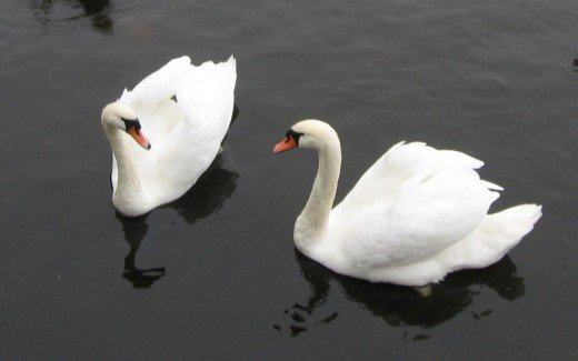 A couple of swans on a pond in Poznan, Poland.