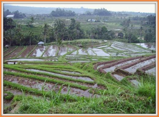 Jatiluwih Rice Terrace.