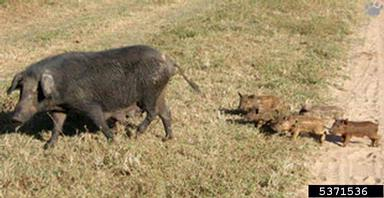 A Mother and Piglets