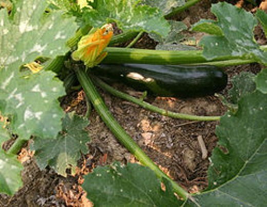 Zucchini, as pictured here, are among many vegetables which grow on the vine.  An easy plant to tend to, many home gardens include at least one zucchini vine.