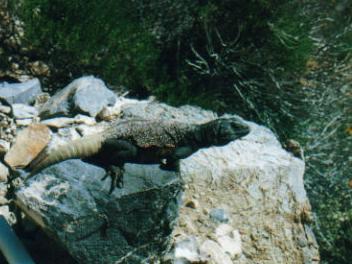 Male chuckwalla, a very large animal.
