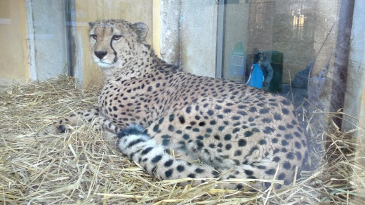 A gepard at the Schönbrunn Zoo. I just love both small and big cats.