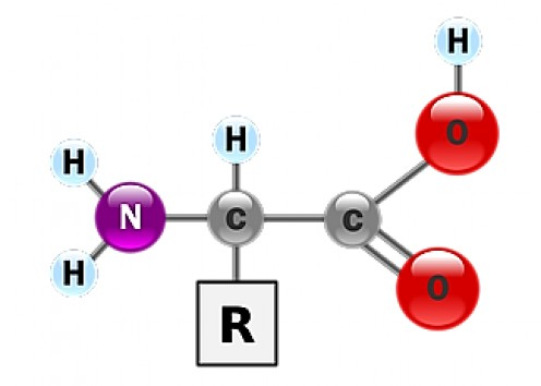 A ball and stick model of an amino acid molecule; the R group is different in each type of amino acid
