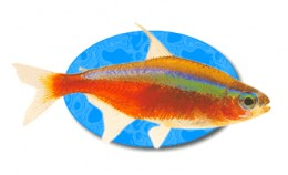 The brightly colored Cardinal Tetra is one of the most popular freshwater aquarium fish found in the hobby today.