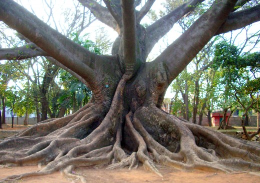This largest kapok tree in the world is in Lal Bagh Gardens. Fiber from the dry kapok fruit is used as an alternate stuffing material for cotton in my area, usually in pillows and mattresses.