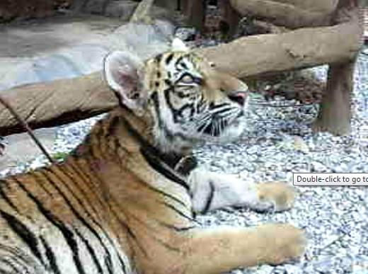 Tiger cub at Tiger Canyon, Kanchanaburi, Thailand
