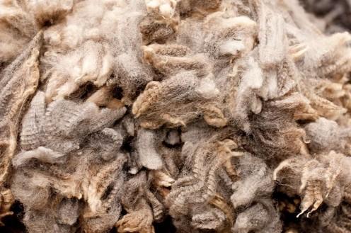 Freshly shorn wool