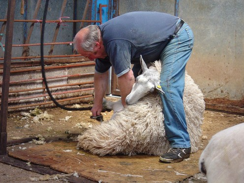 Sheep shearing by Magic Foundry To keep the fleece clean, the shearer stands on a board and won't move off it. The sheep are brought to him