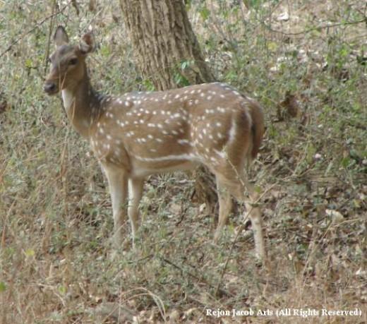 deer in SGNP