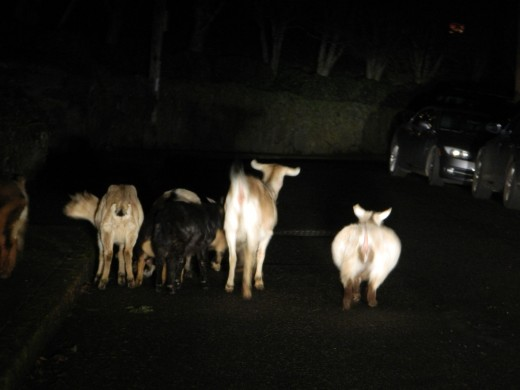 rental weed eating goats escape in the city by night and are in the middle of Hawthorne Terrace in Portland Heights.  I have to wait for them to get out of the road to drive up the hill on my way back from Downtown Portland Oregon.