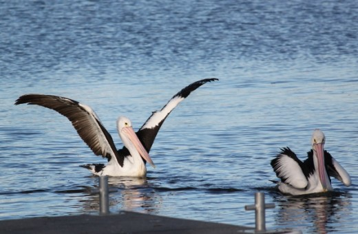 Pelican displaying it's plumage