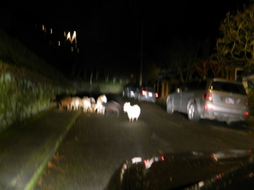 escaped rent a goats in the city of Portland