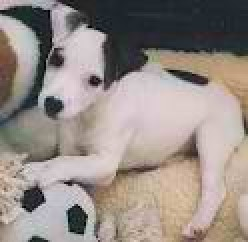The Jack Russell Terrier Breed