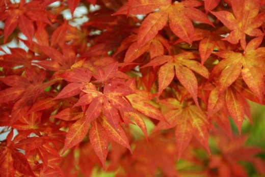 A Japanese Maple in Autumn