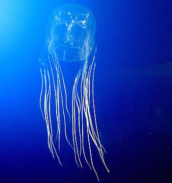 The Box Jelly Fish