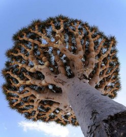 The Weirdest Tree on the Earth