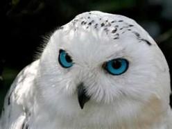 Snowly owl howl