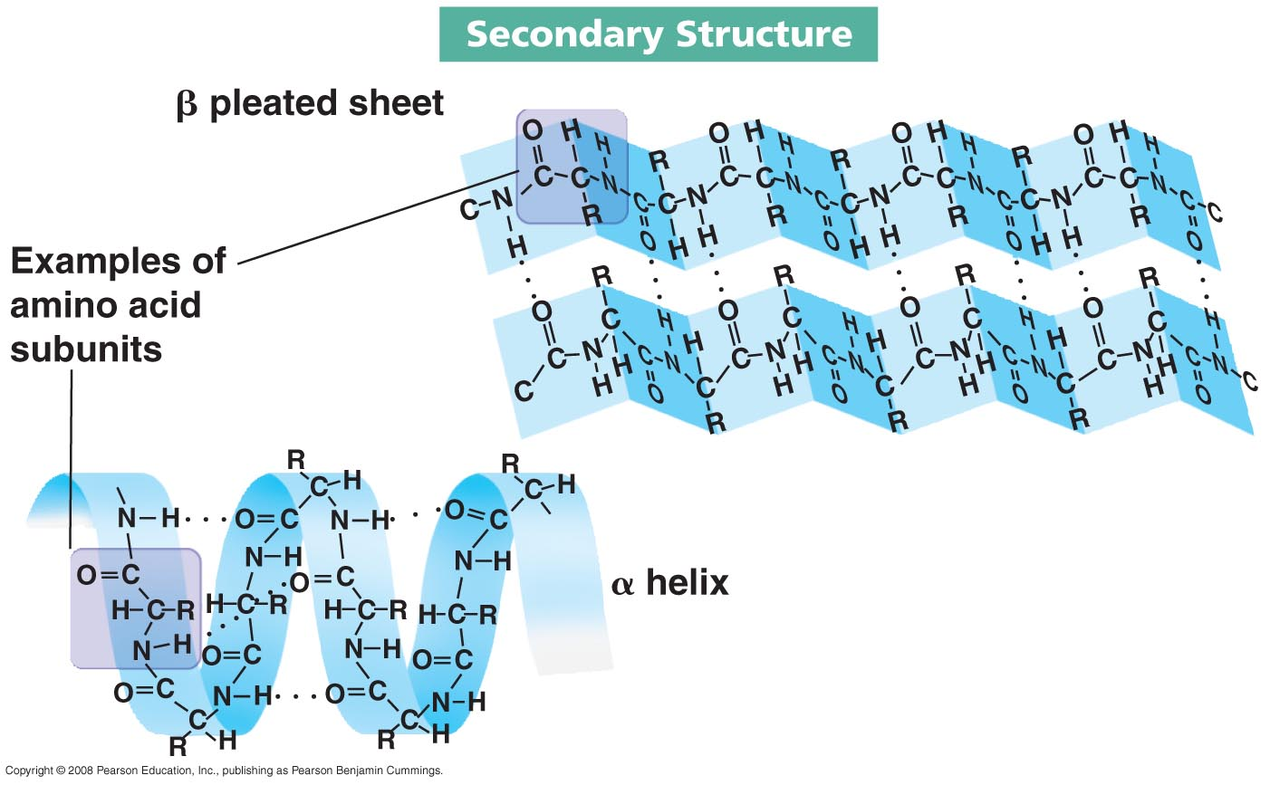 Protein Structure  Secondary  alphaHelical Conformation