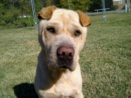 Jacques is a Shar-Pei that had to overcome A LOT in his life. He is urgently looking for a home or foster home prior to 15-Jan-2012.  Contact: Jessica Rosman sukari1020@yahoo.com
