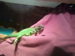 What the Iguana Guru's Don't Tell You About These Pets