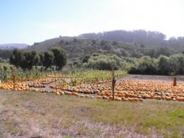 Pumpkins in Half Moon Bay
