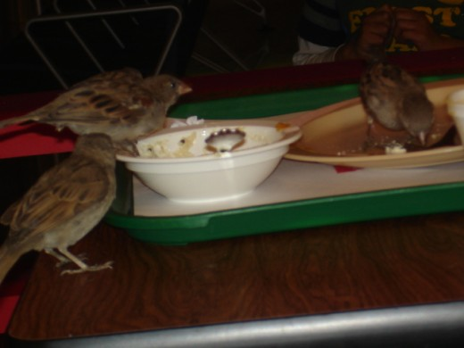 Picture of house sparrows feasting on left over idlis
