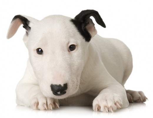 Symptoms and Treatment of Dog's Eye Problems