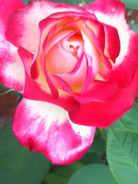 Haiku can be beautiful, like the rose and deceptively simple, like the rose.
